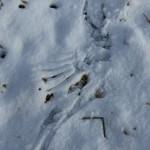 Vogelspur im Schnee, Flügelschlag
